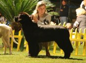 newfoundland dog Bear Mountain Newfoundlands