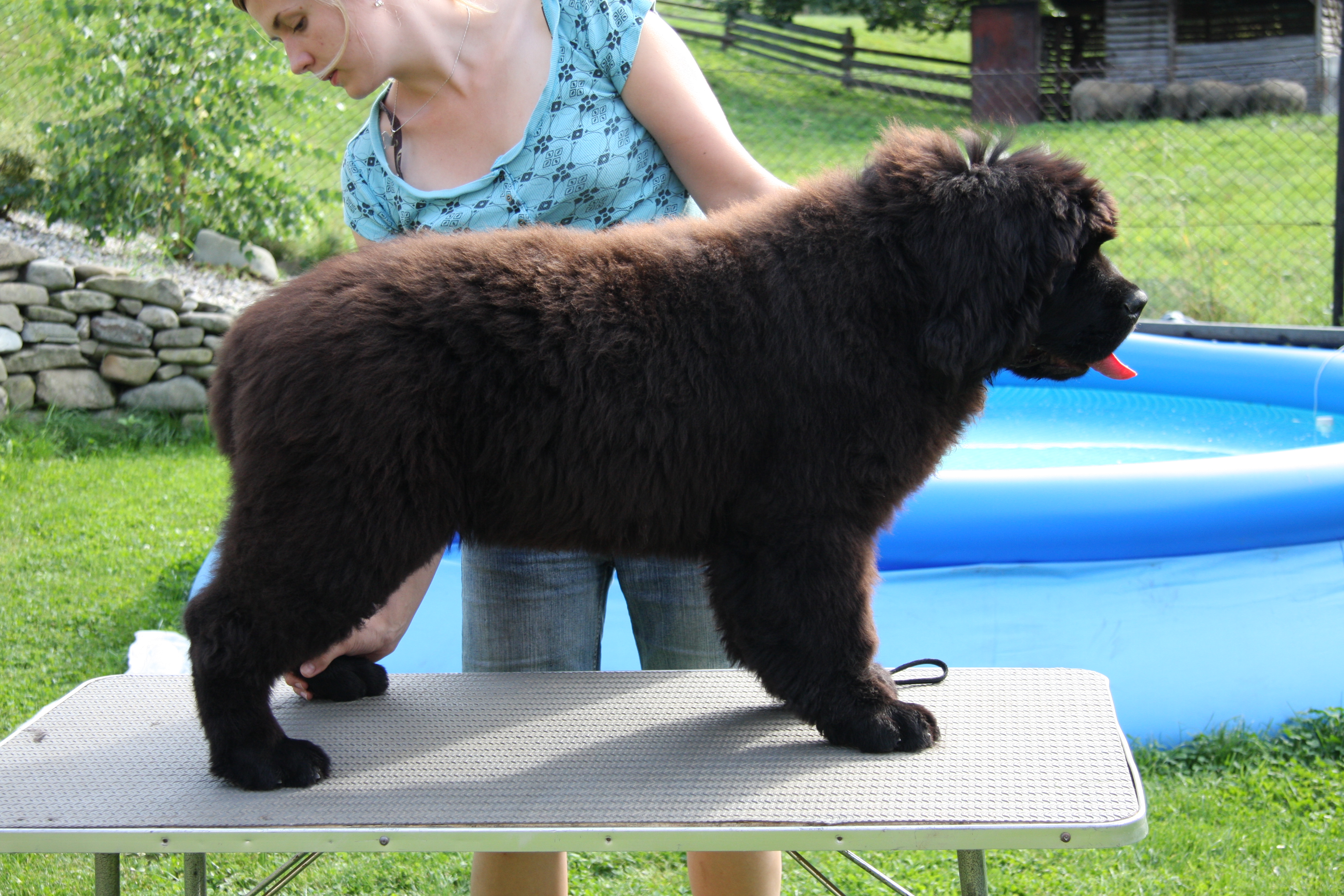 newfoundland dog Bear Mountain As You Wish